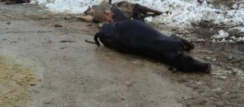 Il bestiame deceduto dopo il crollo del capannone in Abruzzo: Azienda agricola Farinelli- Cesa di Francia (TE)