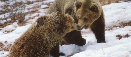 Ursos no 'Santuário de Arcturus' em Nymphaio, Grécia