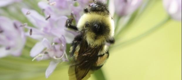 Abelha Bombus Affinis sofre ameaça de extinção.