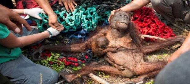 Mãe orangotango foge do incêndio florestal com o seu bebê nos braços e ambos têm um final feliz