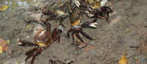 Ibama divulga datas de proibição da captura dos caranguejos
