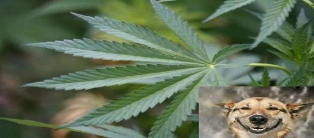 cannabis (Fonte: http://zh.clicrbs.com.br/rs/vida-e-estilo/noticia/2016/10/maconha-medicinal-ajuda-animais-de-estimacao-com-doencas-7788070.html)