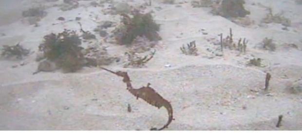 Pesquisadores acreditam que agora poderão saber mais sobre enigmático animal (SCRIPPS INSTITUTION OF OCEANOGRAPHY)