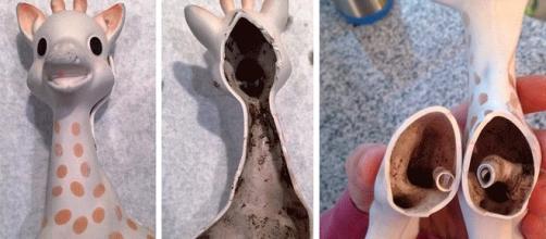 La presse anglophone fait grand cas des moisissures pouvant apparaître à l'intérieur de Sophie la Girafe