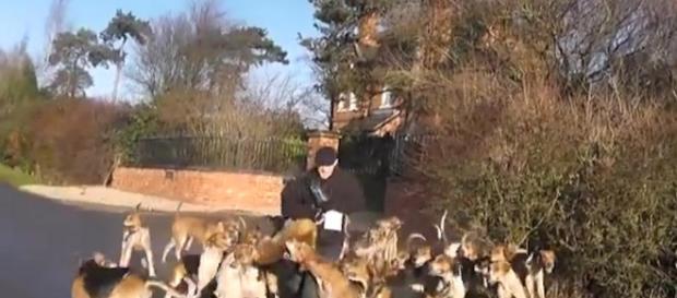 Inghilterra, volpe dilaniata dai cani randagi: la denuncia degli animalisti
