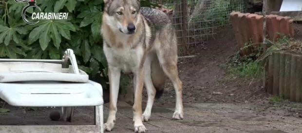Nella bufera 9 allevamenti italiani per aver incrociato veri lupi e cani lupo, pratica fuorilegge. Foto: youtube
