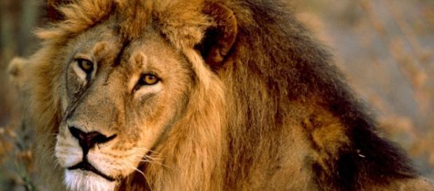 Tre leoni aggrediscono veterinario e assistente in una riserva naturale giordana