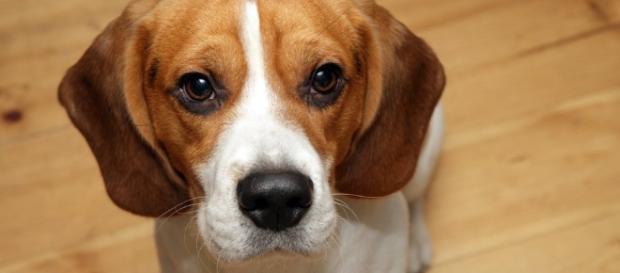 Dante, il beagle che ha salvato la vita della sua padrona