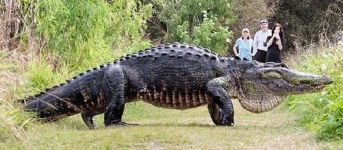 Jacaré impressiona pelo tamanho (Foto: Reprodução/Daily Record)