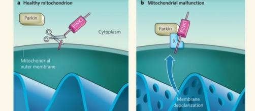 Un mitocondrio sano e un mitocondrio malato in una forma genetica di Parkinson (Abeliovich, Nature 2010; https://goo.gl/n9pZND)