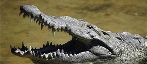 Thailandia, coccodrillo azzanna turista francese: voleva farsi un selfie