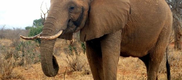 La vera e triste storia degli elefanti pittori, torturati per il ... - articolotre.com