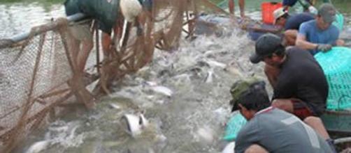 Granjas acuícolas de panga en el río Mekong