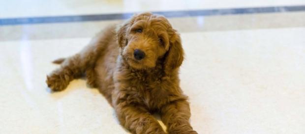 Il cane regalato a Trump da un'amica non è arrivato alla White House. Sarebbe la 1 volta che non c'è un pet accanto a un presidente Usa. Foto: twitter