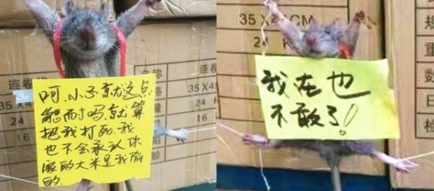 "Sign on dead rat reads: ""I won't dare do this again."" Chinese social media reacts negatively. / Photo from 'Latest News Virals' - latestnewsvirals.com"