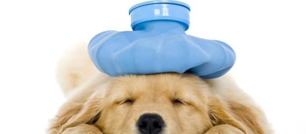Novidade: vacinação de gripe para cães