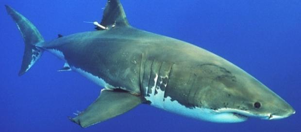 Ein weißer Hai / White Shark, Foto: Phillip Colla