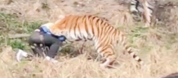 Testemunhas assistem com horror enquanto o homem é atacado pelos os três tigres