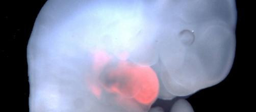 Feto de ratón con células de rata(en rojo)