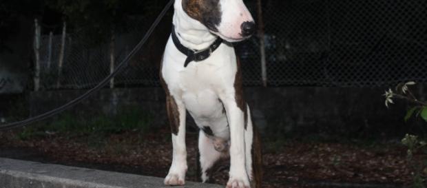 """Bull Terrier, também conhecido, noutra épocas, como """"Cavaleiro Branco""""."""