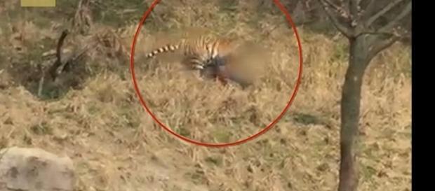 Imagem de tigre atacando homem em zoológico