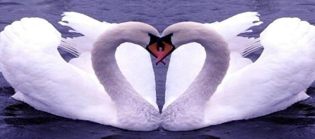 Cisnes e outros animais ficam juntos por toda a vida