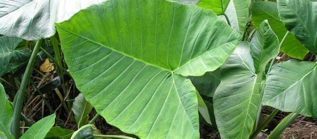 File:Taro plant.JPG - Wikipedia - wikipedia.org