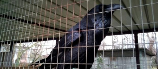 Un corvo imperiale in cura al CRAS di Rende