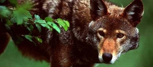 1000+ images about Red Wolves on Pinterest | Red wolves ... - pinterest.com