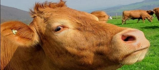The impact of livestock methane emission on global warming was underestimated, says study [Image Credit: Pixabay]