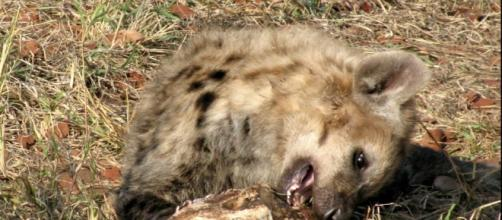 Kruger National Park Hyena on roadsie - Image - J. Flowers (Own work)