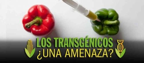 ¿Que riesgos ocasiona el consumo de transgénicos?