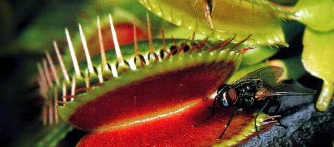 Planta carnívora: la increíble venus atrapamoscas