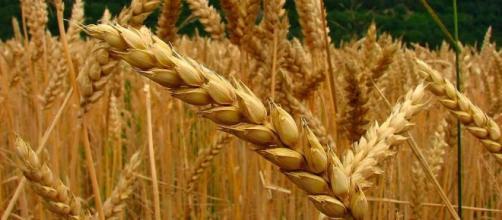 Espiga de trigo en campo en cultivo