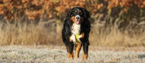 Sonoma County woman lost 14 dogs in the Northern California wildfires [Image credit: Bernese mountain dog Pxhere/CC0]