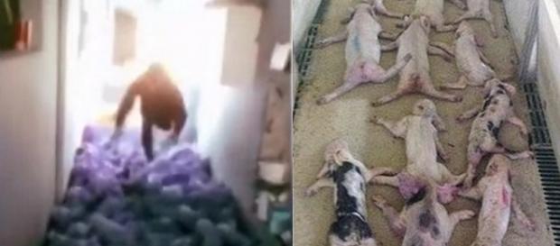 Homem se jogou contra leitões e acabou matando dezenas deles (Crédito: YouTube/CONtextoGanadero/Twitter/MailOnline)