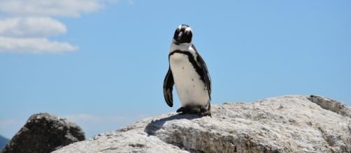 Pinguino: fonte dell'immagine: Pixabay