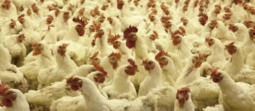 Poultry farm (Image credit: skeeze/pixabay)