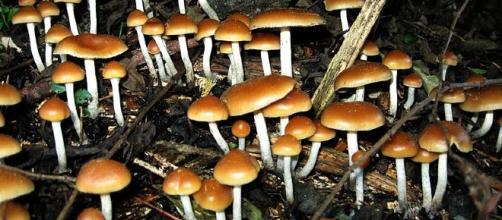 Psilocybin in magic mushrooms could be used to treat depression.[Image Credit: Alan Rockefeller (Mushroom Observer)/Wikimedia Commons]