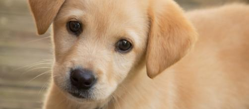California passes law to ban the sale of dogs from puppy mills. Photo by Jonathan Kriz via Wikipedia Commons.