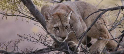 "Species Puma (Puma concolor). Foto di ""Conservacion Patagonic""."