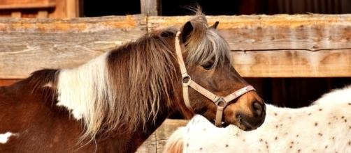 A Santa Rosa woman managed to evacuate her pony from the Tubbs Fire by putting him in the car [Image via Pixabay/CC0]