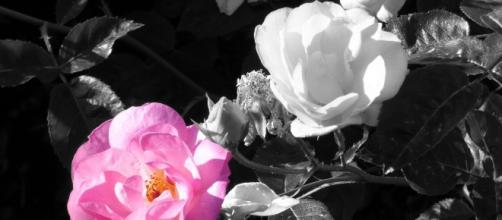 Pink rose / Nick Kenrick via Flickr