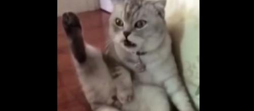 Vídeo com gatinho espantado viraliza na web. (Foto internet)