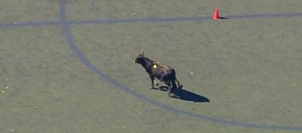A calf escaped from a Brooklyn slaughterhouse and went on the lam for a couple of hours [Image credit: CBS New York/YouTube]
