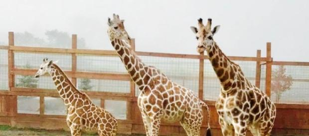 The star giraffes of Animal Adventure Park. [Image Credit: Animal Adventure Park]
