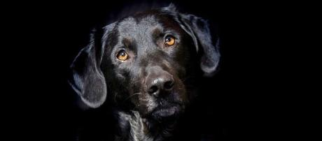 Lulu the black Labrador was fired by the CIA as not being interested in her explosive detection training [Image credit: Pixabay/CC0]