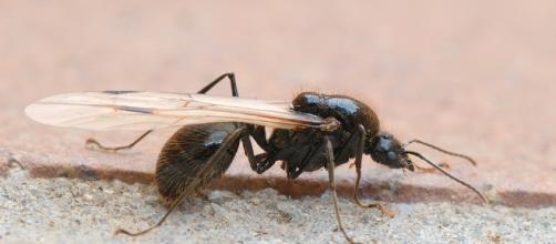 Hormiga fértil en época del vuelo nupcial