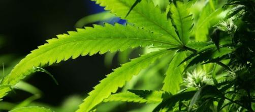 La cannabis è una pianta originaria dell'Asia centrale