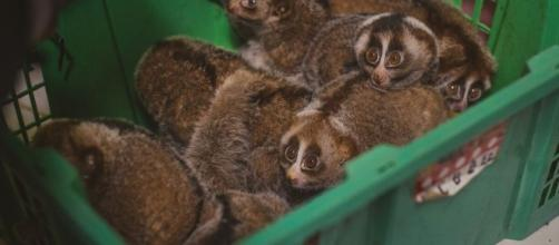 Help conservation groups save the slow loris this summer. (Image Credit: Columbusdirect/Youtube)